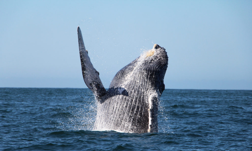 about whale watching in banderas bay